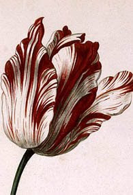 botanical illustration of tulip sempre augustus